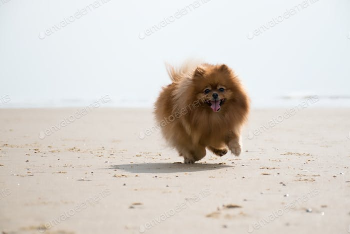 Funny little puppy running on the beach