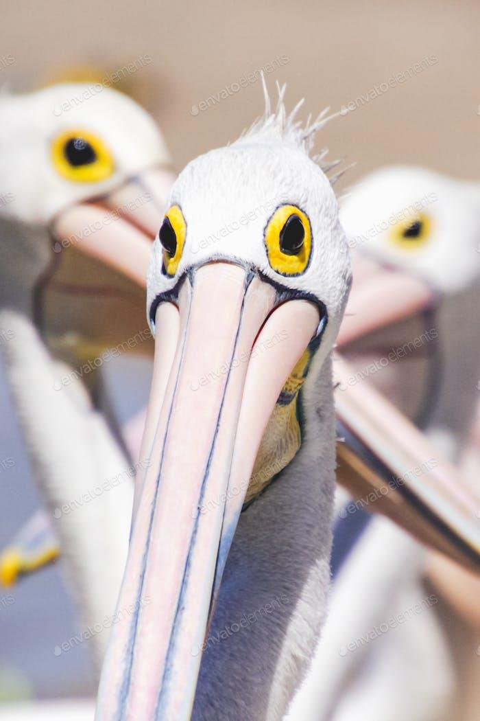 Herr Spike - Nahaufnahme Porträt eines Pelikans