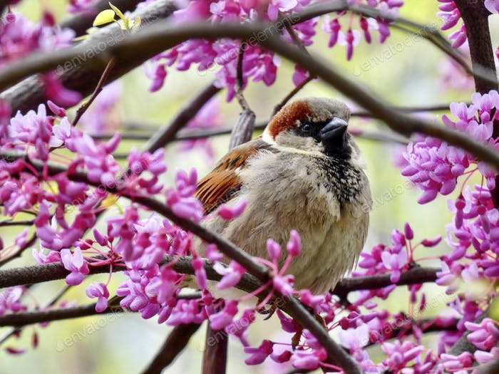 Perched sparrow in a flowering Red Bud