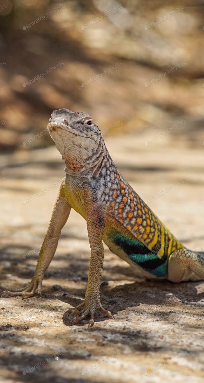 Close up of a Greater Earless lizard