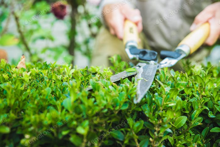 Garden shears trimming hedge