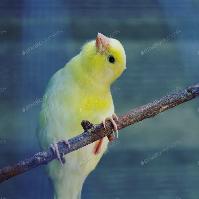 Gelber Kanarienvogel sitzt auf einem Ast mit geneigtem Kopf