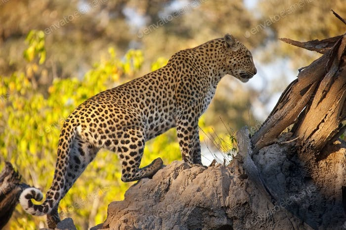 Leopard - a large solitary cat that has a fawn or brown coat with black spots
