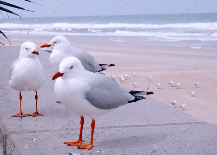 Seagulls enjoying the breeze at Surfers Paradise Beach - Gold Coast, Australia