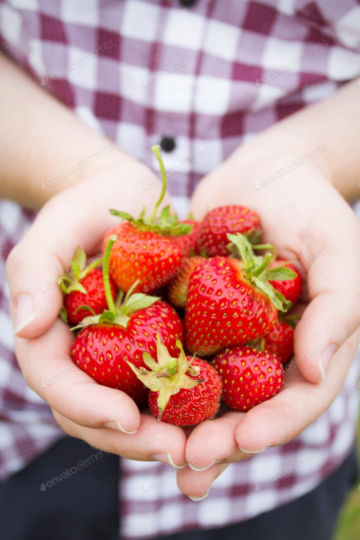 A close up of a gardener holding a handful of ripe, fresh strawberries that he picked from his garde