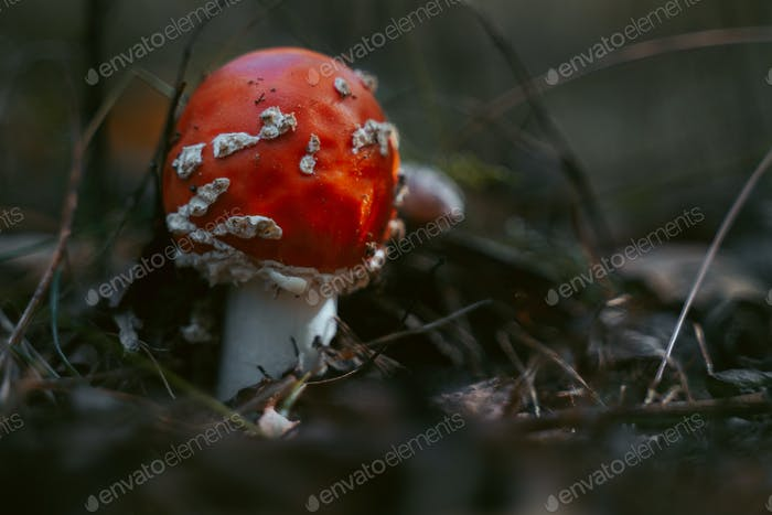 Red mushroom in forest among dry leaves and moss. Fly agaric poison mushroom. Copy space