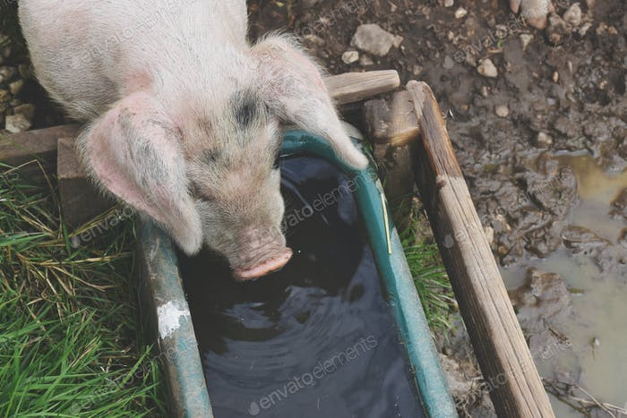 Pig drinking water from A trough on a farm