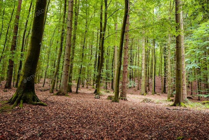 Woodland area of Granitz with European beech, Fagus sylvatica, and sessile oak, Quercus petraea