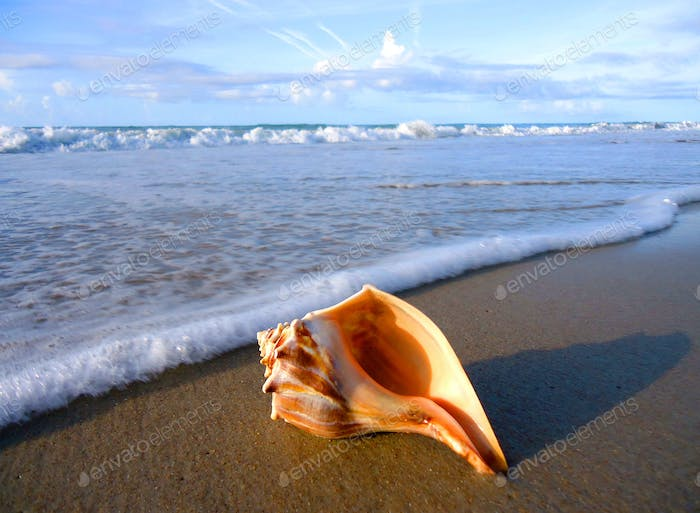 Conch shell seashell laying on the beach just beyond the reach of the surf in the morning