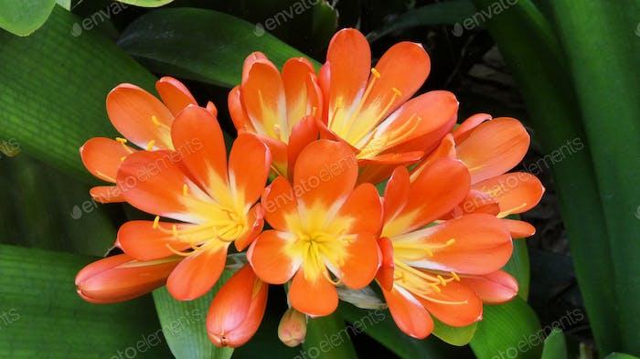 Coloridas flores de lirio de kaffir que florecen en el jardín