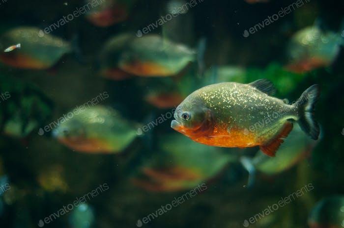 Piranhas under water. School of predatory fish