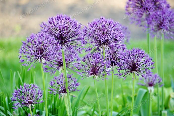 Purple alliums 💜 #flowersphotography #flowersphoto #flowerstalking #flowerday #flowersday