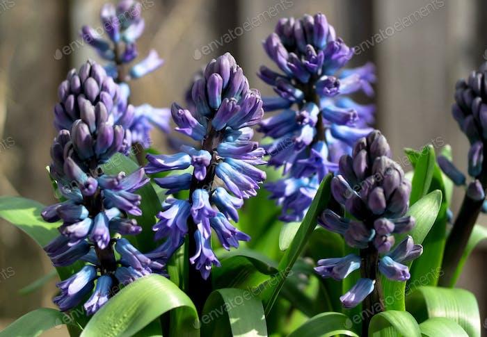 Blaue Hyazinthenblüten