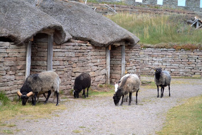 Sheep and historical buildings