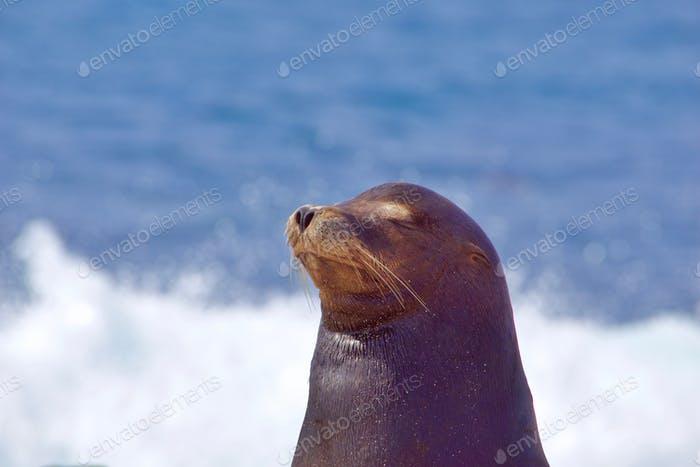 Beautiful female California Sea Lion, closing her eyes enjoying the sound of the waves behind her.