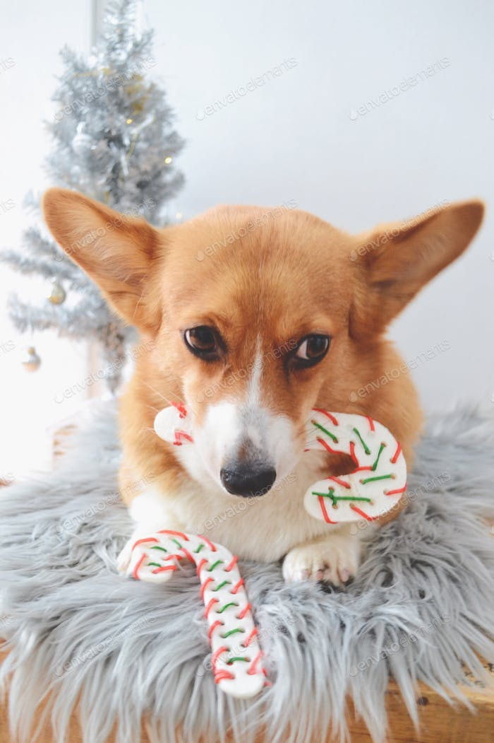 Dog with candy cane bones