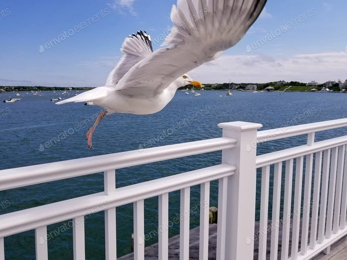 A seagull takes flight from a white railing of a dock overlooking Edgartown Harbor on Martha