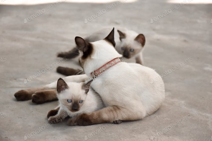 Beautiful adorable old style siamese blue point shorthaired cat, thai cat with amazing blue eyes.