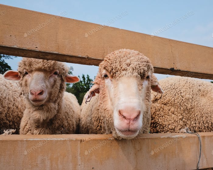 Porträt von Schafen auf dem Bauernhof