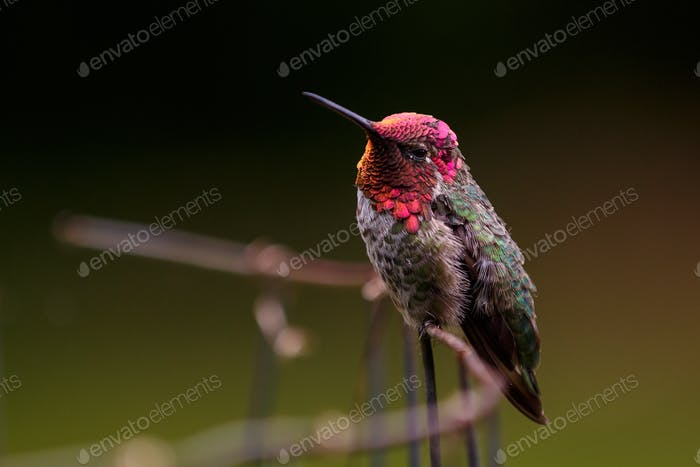 "Hummingbird Anna"" poses for close up"