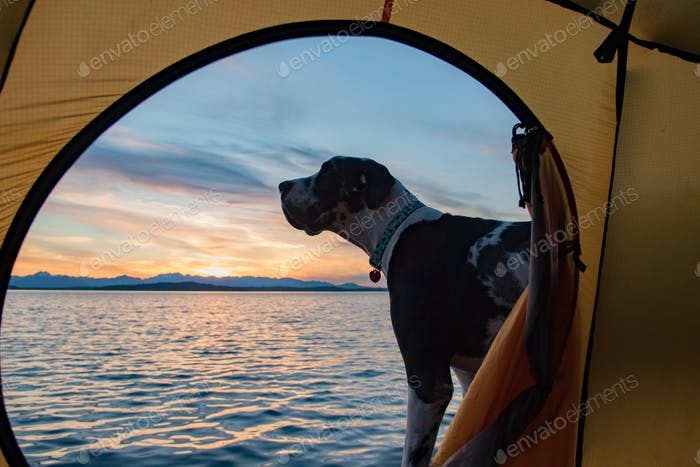 Beach camping with pet harlequin great dane dog.