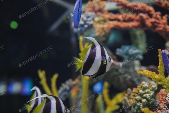 Angelfish im Aquarium