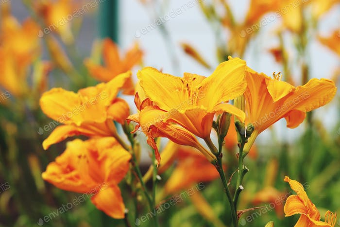 Day lilies growing in garden.