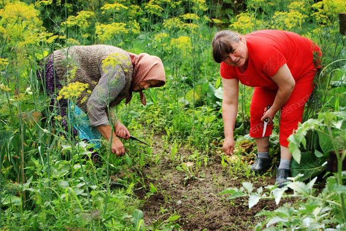 Women in Eastern Europe cultivating vegetables in their garden. Plucking weeds.
