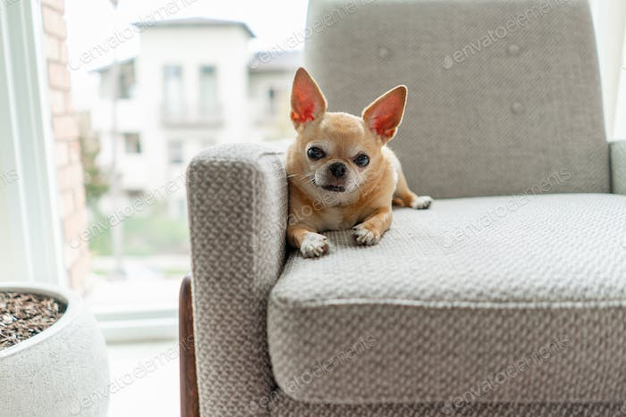 Chihuahua dog relaxing on a chair