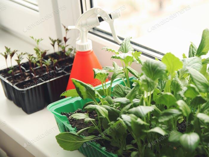 Seedlings on the windowsill