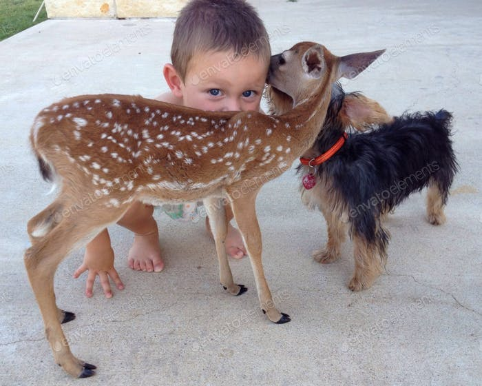 A young child giving his love and kiss to a fawn and puppy as they show their love in return.