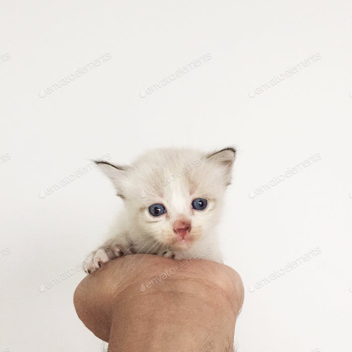 Cute white little kitty in my hand.