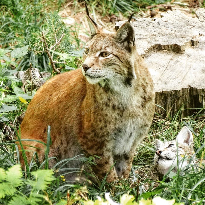 Lynx wild life