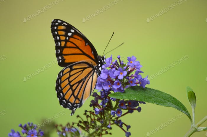 The Monarch Butterfly in Nature