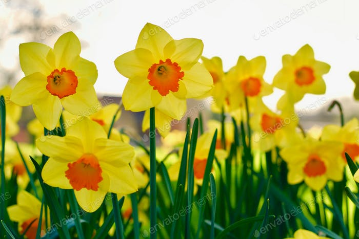 Daffodils in springtime