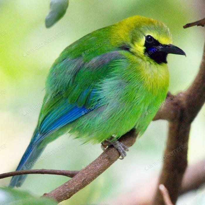 Greater Leaf Bird