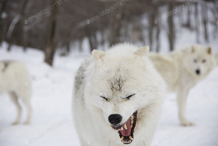Arctic wolf laughing