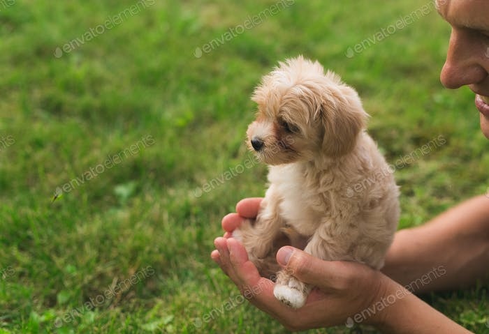 pet of a Maltese lapdog,lies in the hands of a child, sleeps.The puppy is a new member of the family