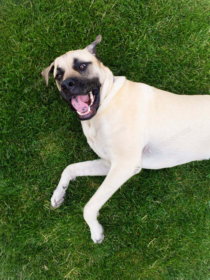 Extremely happy English mastiff puppy with open mouth lying outside on green grass.