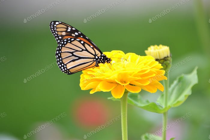 Monarch butterfly on a bright yellow dahlia