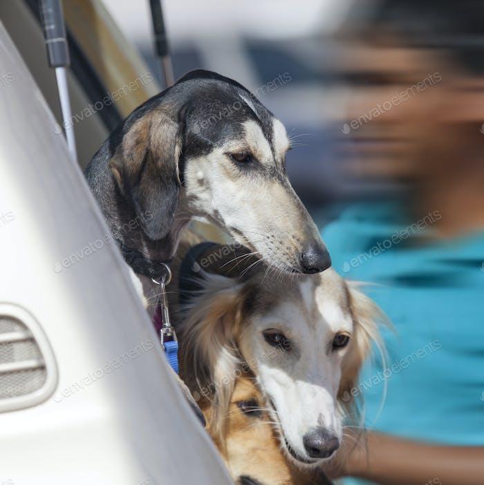 Beautiful saluki hunting dogs in the car