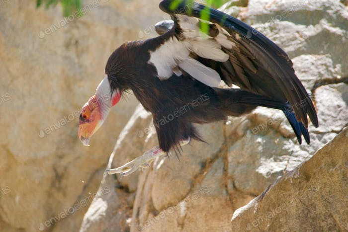 A California Condor with wings spread, descends the cliff as she spots her lunch