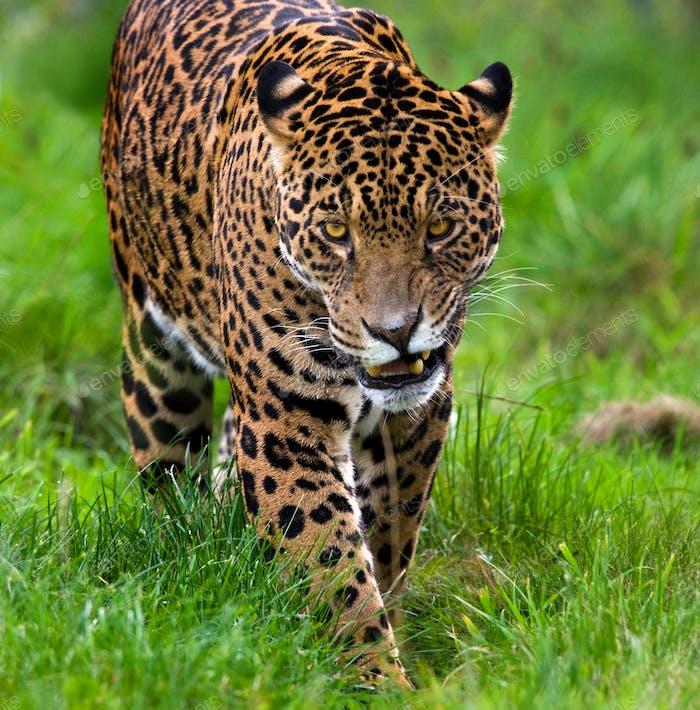Jaguar (Panthera onca) - ein Säugetier der Familie Felidae und eines von vier