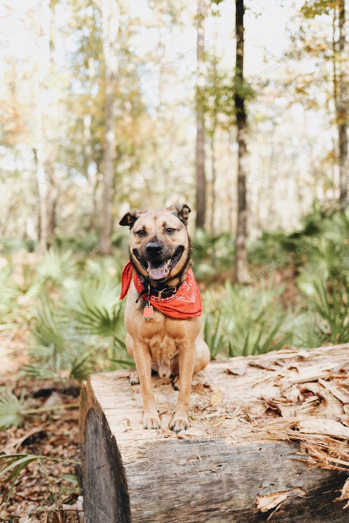 Smiling dog sitting on a log on a trail