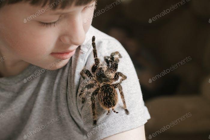 Tarantula spider on boy's shoulder.