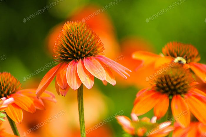 Close up of orange cone flowers with a natural blurred background.