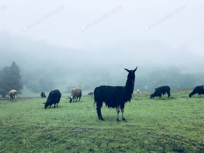 While road tripping on a rainy day in Northern California we found this awesome field of llamas!