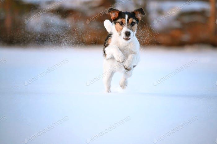 Happy Terrier