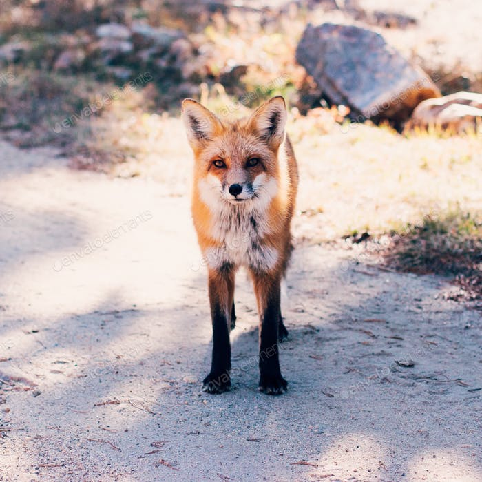 Fox friend.