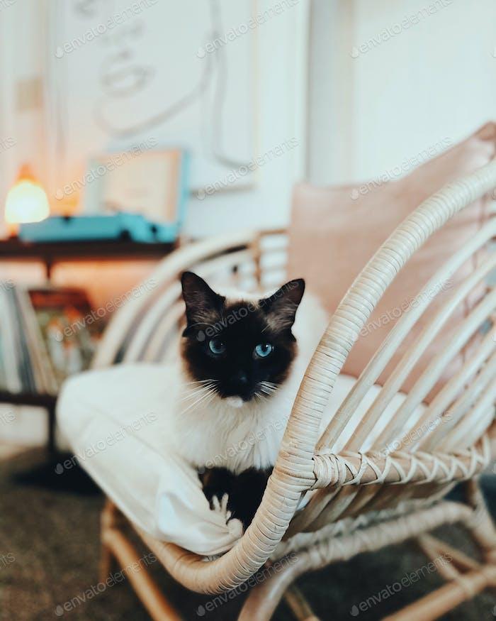 Bohemian House Cat